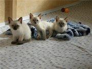 симпатичные, игривые, голубоглазые сиамские котята