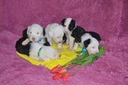 Замечательные щенки староанглийской овчарки (бобтейла)