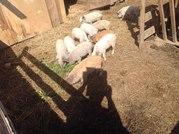 Свинки породы венгерская пуховая мангалица