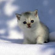 Золотые Шотландские котята