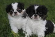 Мужские и женские японский подбородок щенки для продажи