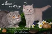 Шотландские вислоухие и британские котята