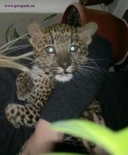 Продам леопарда ручные котята