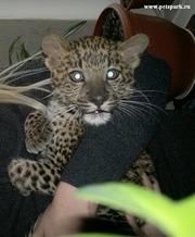 Леопард,  Тигр,  Лев купить можно у нас . Продам