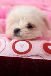 Мальтезе,  мальтийская болонка очаровательные щенки