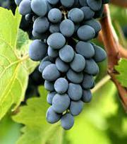 Виноград свежий сорта Молдова.