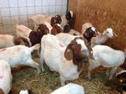 Купить Бурских коз можно у нас,  продам бурскую породу