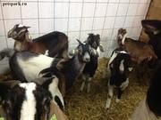 Купить Англо-нубийские козы можно у нас. Продам Нубийцев