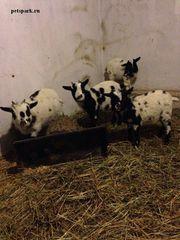 Купить Камерунских коз можно у нас. продам карликовых коз