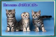 Британские и шотландские котята из питомника Daryacats