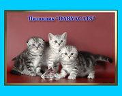 Британские и шотландские котята классика и эксклюзив