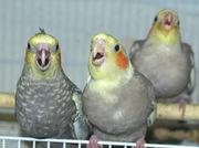 Корела-нимфа птенцы,  есть полностью ручные малыши.птенцы корелл,  домаш
