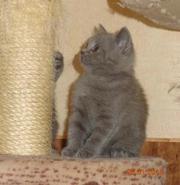 Британский котик 3 мес.,  классического голубого окраса.