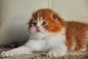 вислоухие котята из питомника