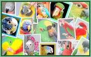 Питомник попугаев,  канареек - Волнистые попугаи,  Неразлучни