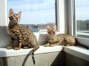 Породистые бенгальские котята
