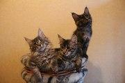 Питомник мейн-кунов предлагает котят