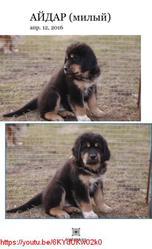 Тибетский мастифф,  щенки шоу класса