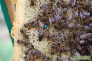 Реализуем пчеломатки Карпатской породы 2016г