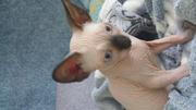 продаю котёнка сфинкса канадского