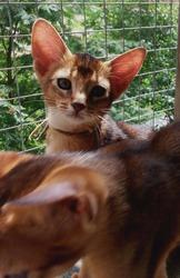 Абиссинские котята. Кошки.