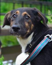 Мегги - шоколадка щенок в добрые руки