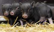 Вьетнамская вислобрюхая свинья,  поросята (1мес.) продам