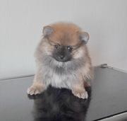 Шпиц померанский мини щенки