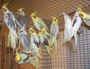 Продам птенцов кореллы. 89262688658