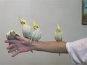 Кореллы Птенчика красивого окраса.