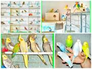 Питомник разведения попугаев,  канареек кореллы
