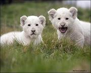 Белый лев,  львенок купить можно у нас
