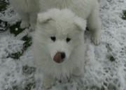 Щенков самоедской собаки 3-ух месяцев.