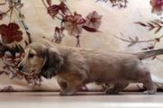 Клубные щенки миниатюрной длинношерстной таксы кремового окраса