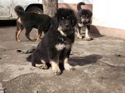 Прекрасные щенки тибетского мастифа