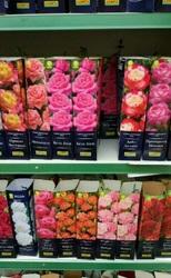 Великолепные саженцы роз дешево,  мелкий опт