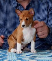 Басенджи- нелающая собака