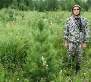 Кедр Сибирский. Саженцы экстра. 130-170 см