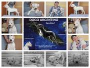 Аргентинский дог белоснежные щенки