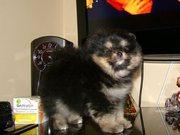 Великолепные щенки померанского шпица