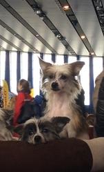 Щенки китайской хохлатой собачки. Голые девочки и мальчик.