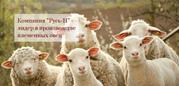Племенное овцеводство (романовская овца) и производство кормов для ско