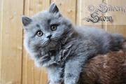 пушистые котята. порода британская длинношерстная.