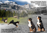 Ожидается помет щенков Породы Аппенцеллер зенненхунд (Швейцарская паст