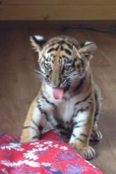 Продам Тигр Белый,  Бенгальский купить тигрёнка можно у нас