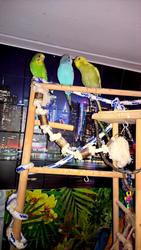 Волнистые попугаи-Птенцы