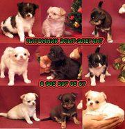Чихуахуа лучшие щенки от лучших собак.