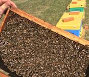 Пчелы породы