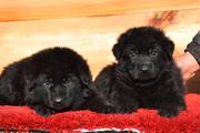 Черные щенки овчарки