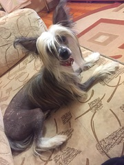 Щенки китайской хохлатой собачки.Голая девочка Лада.